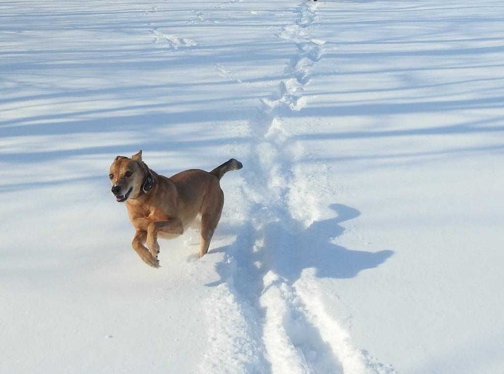 "Собака ""Лиса"" бежит по снегу"
