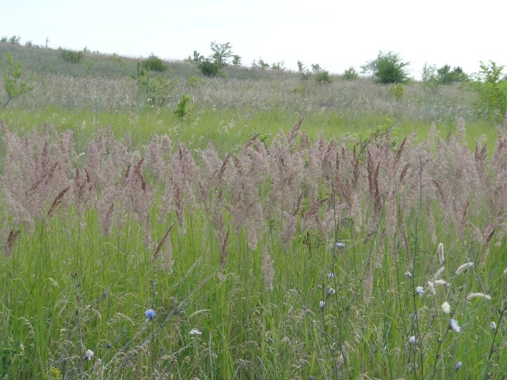 Колосья дикой травы