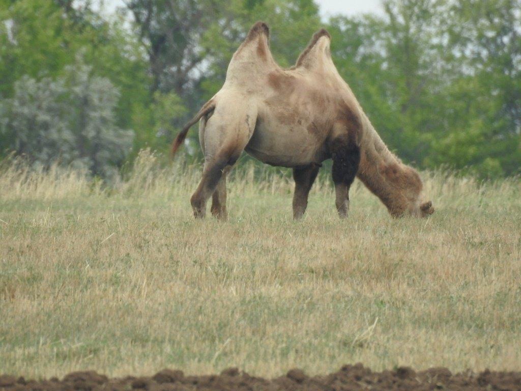 Верблюд пасется
