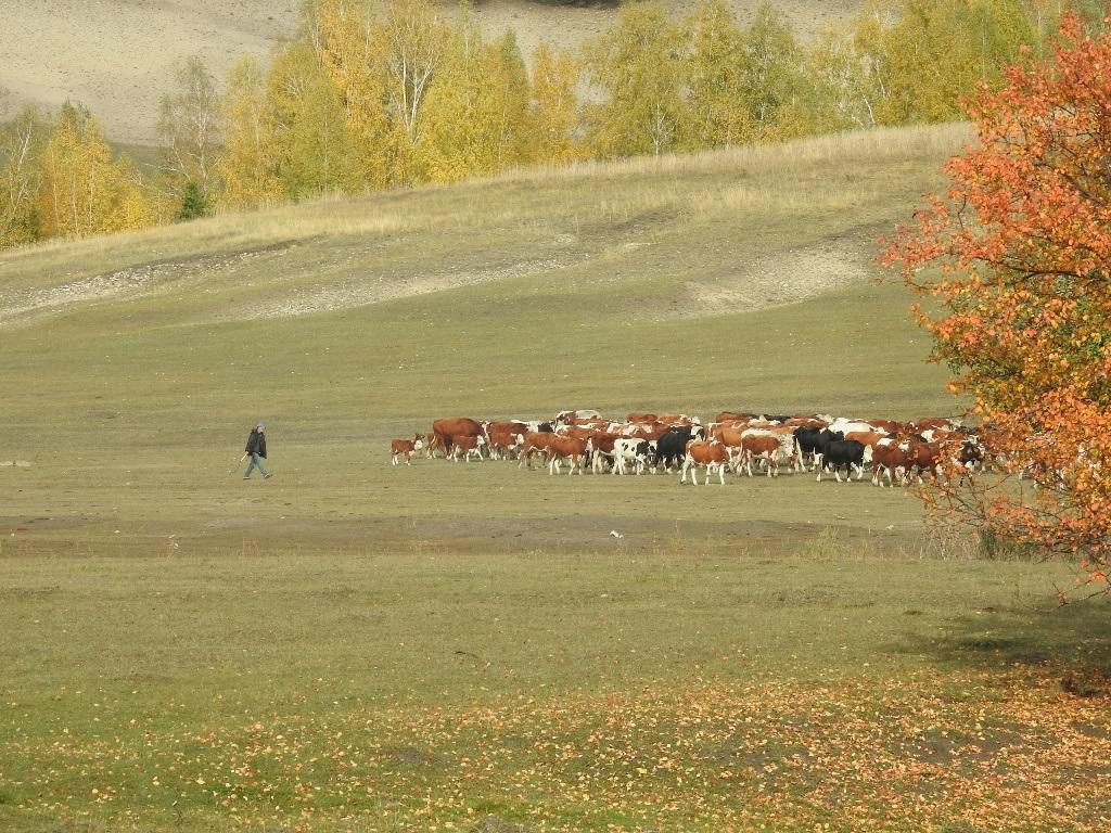 Стадо коров и пастух