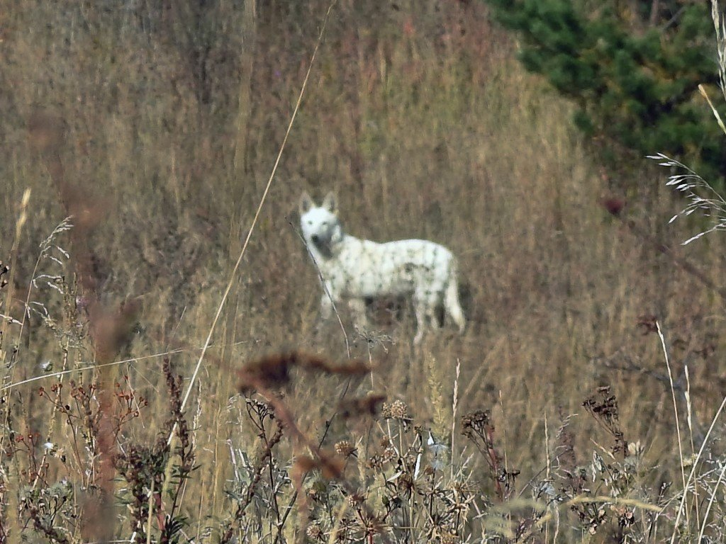 Волк альбинос