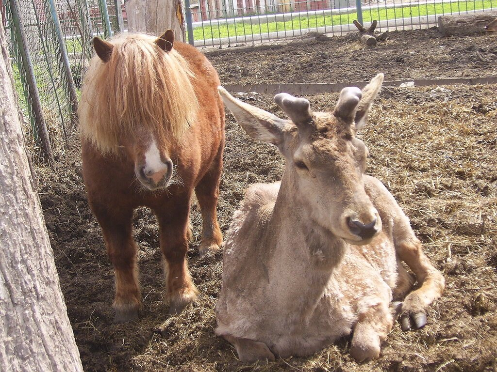 Пони и олень