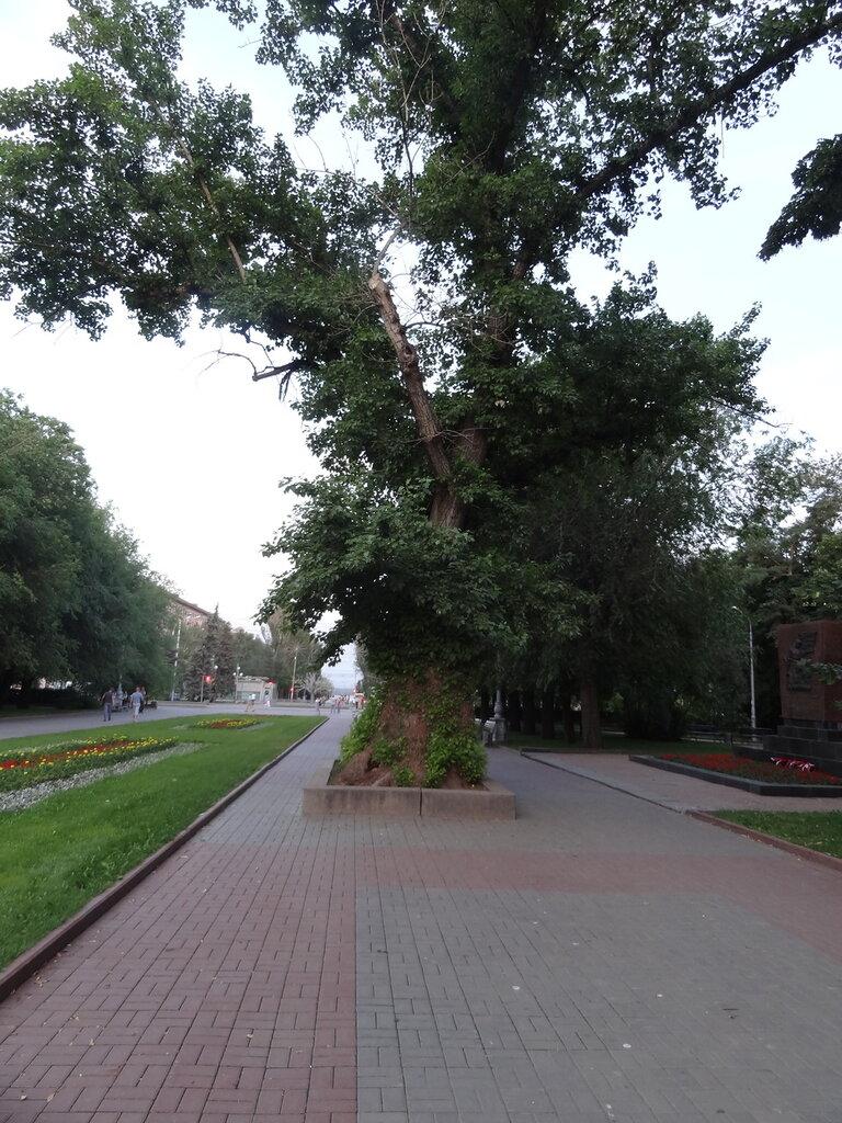 Тополь Волгоград