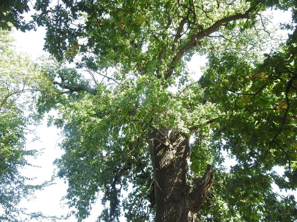 Барсучий дуб великан