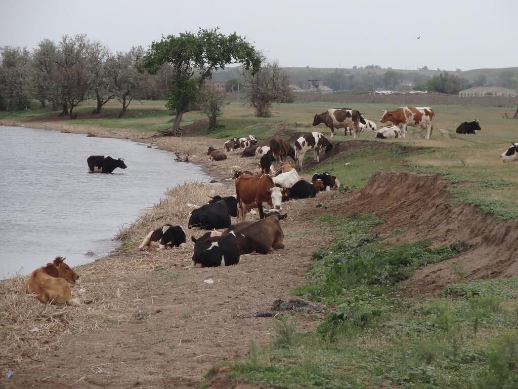 Коровы у Волги