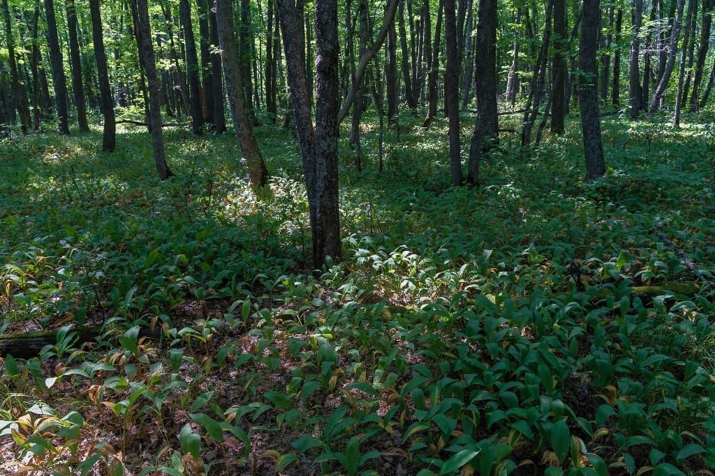 Ландышевый лес