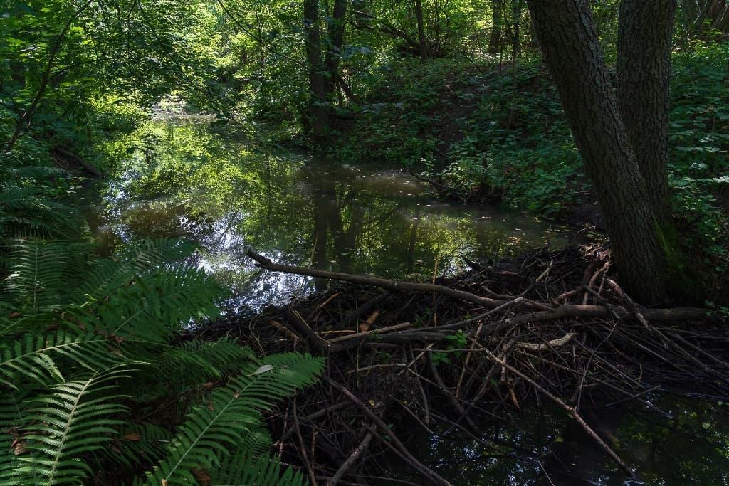 река Сокурка бобровая плотина