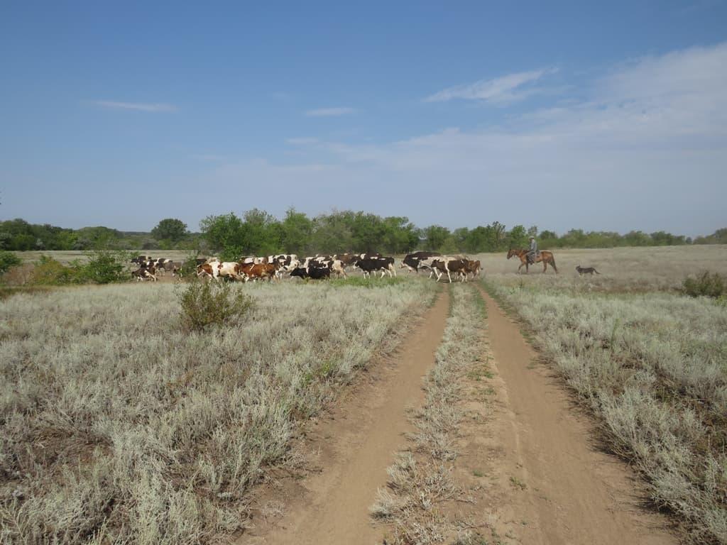 Стадо коров переходит дорогу