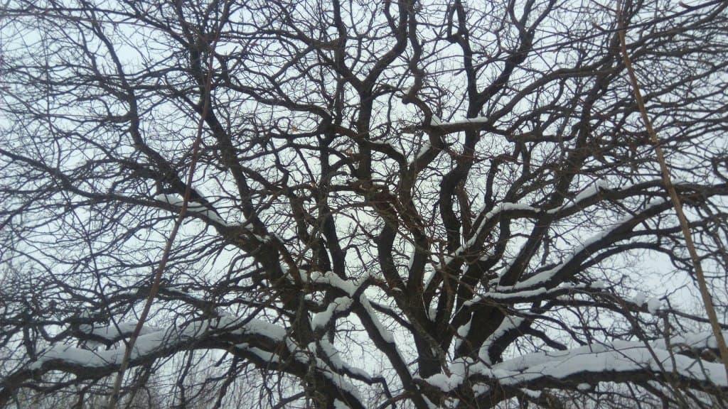 Крона дерева зимой