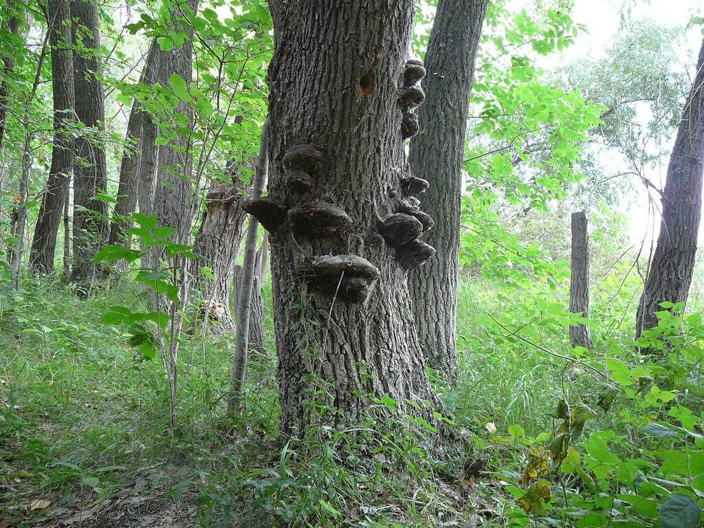 Трутовики грибы